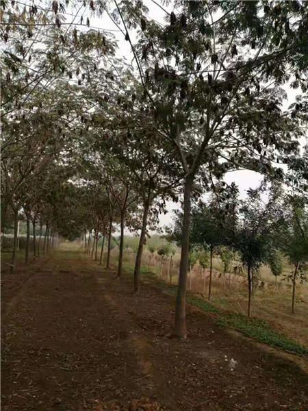 合欢树种子种植技术图片